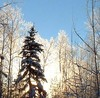Frostedsuntrees_1